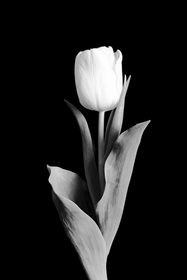 Tulip Photograph  - Tulip Fine Art Print