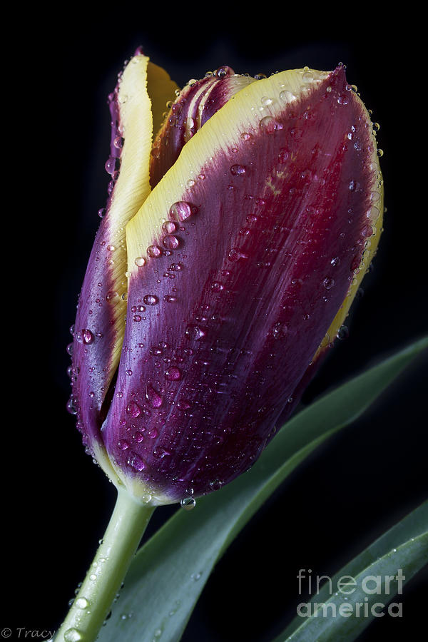 Tulip Photograph - Tulip  by Tracy  Hall