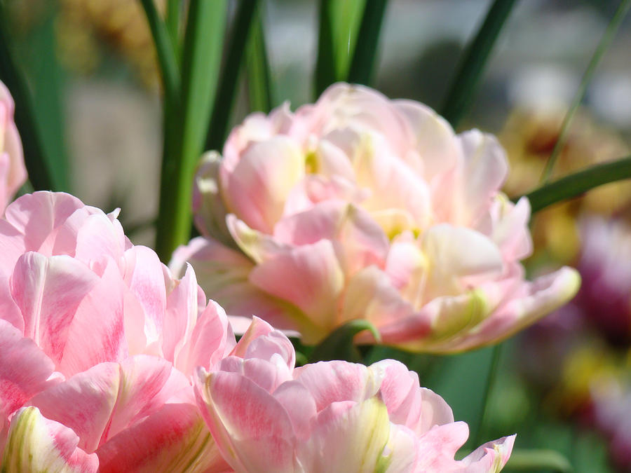 Tulips Flowers Garden Art Prints Pink Tulip Floral Photograph