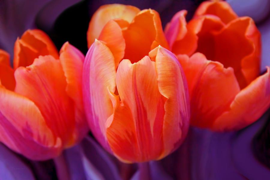 Tulips In Orange And Purple Photograph