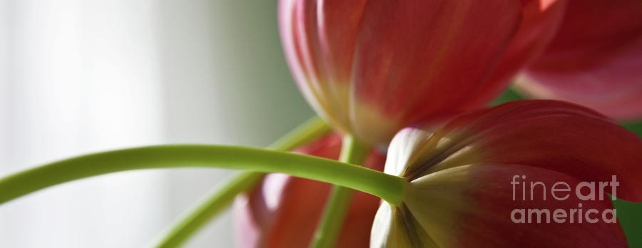 Tulips In The Morning Photograph