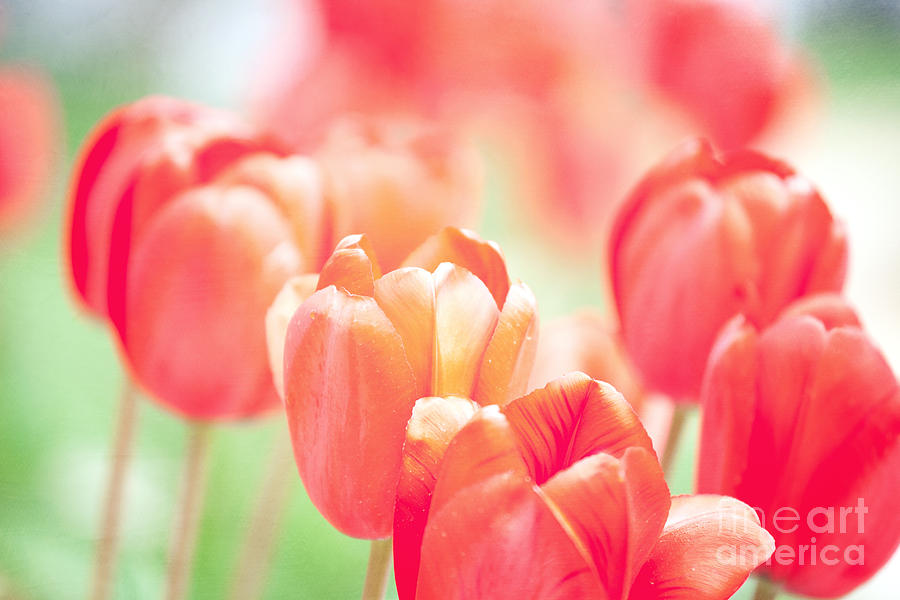 Tulips In The Sun Photograph  - Tulips In The Sun Fine Art Print