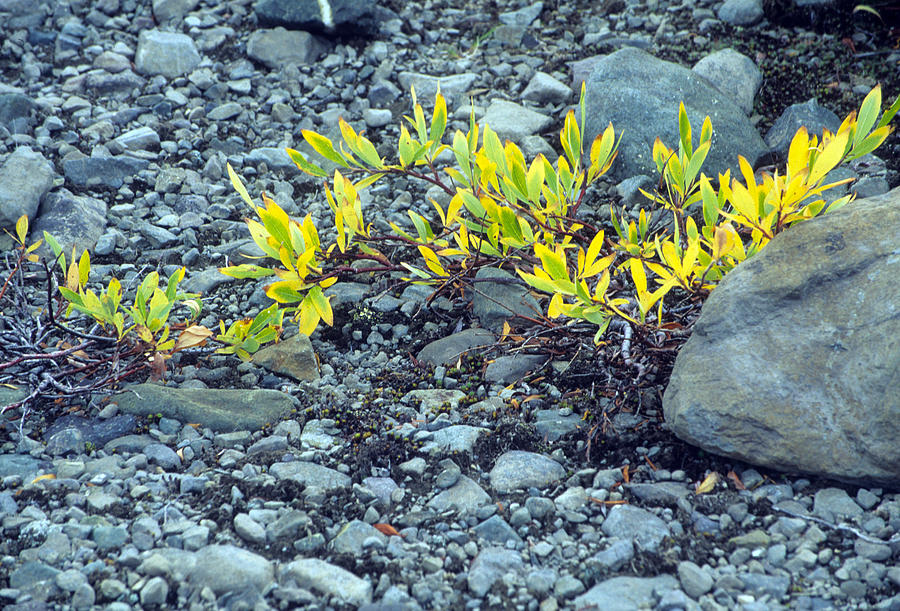 Tundra Plant Photograph by Harold E McCray