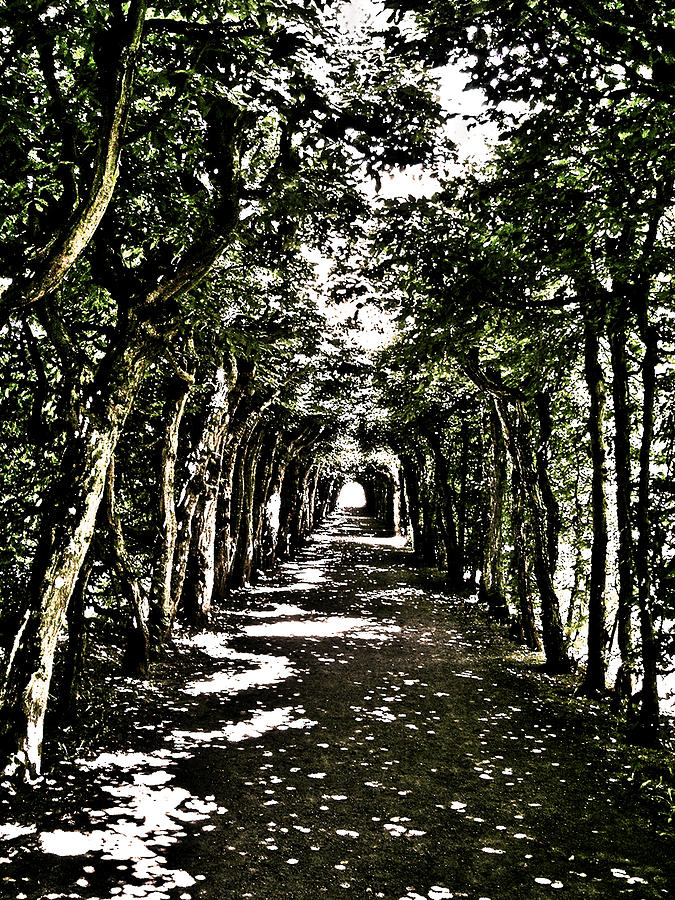 Tunnel Of Trees ... Photograph