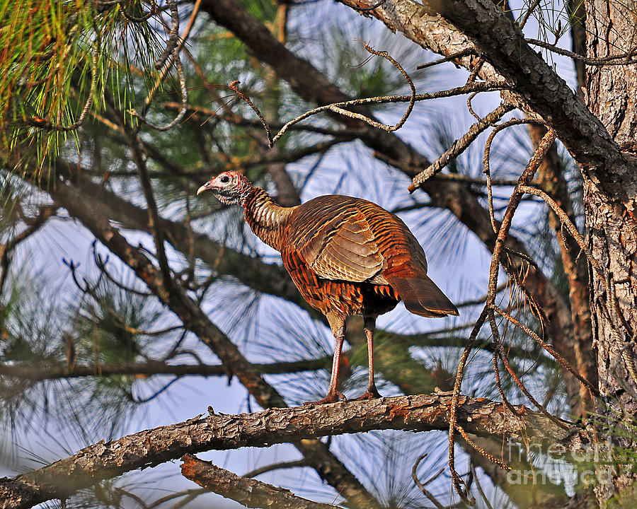 Turkey In A Tree Photograph