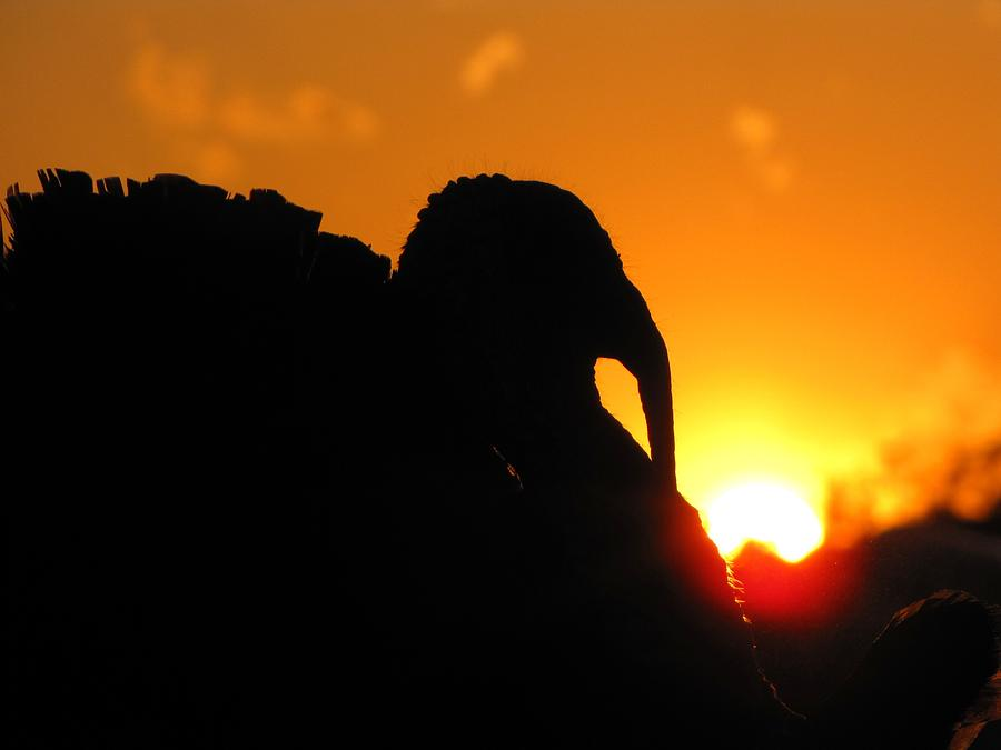 Turkey Silhouette Photograph