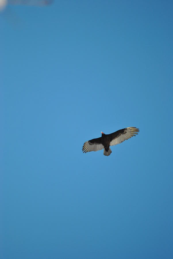 Turkey Vulture Photograph