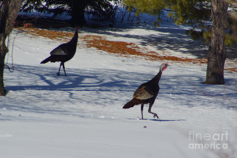 Turkey Walk Photograph  - Turkey Walk Fine Art Print