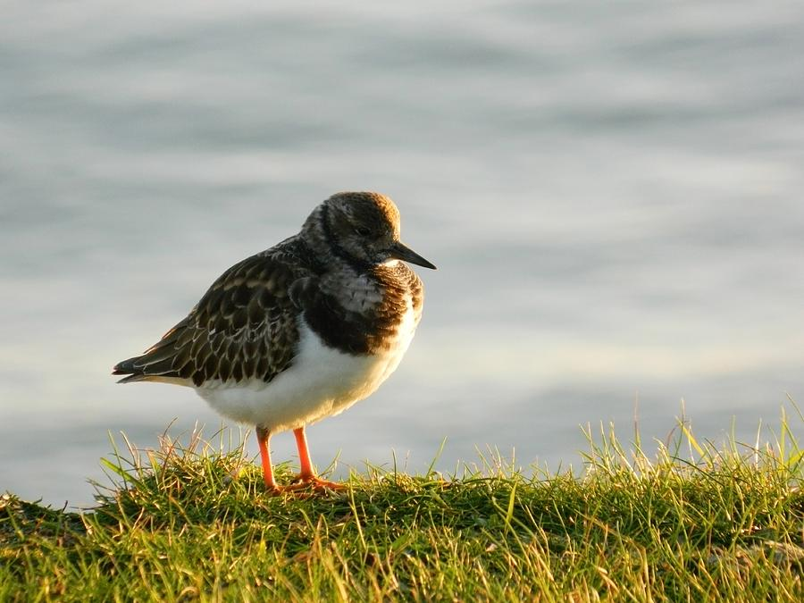 Turnstone Photograph  - Turnstone Fine Art Print