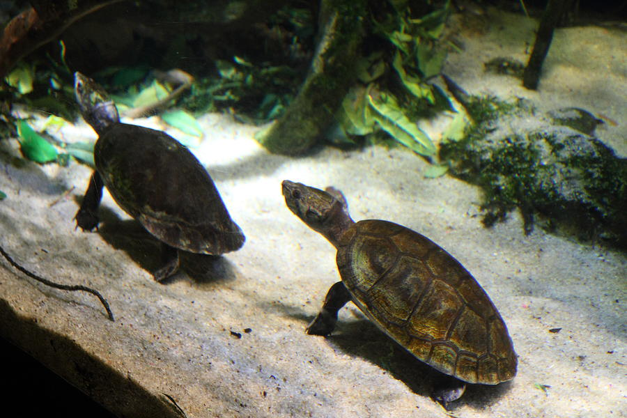 Inner Photograph - Turtle - National Aquarium In Baltimore Md - 121219 by DC Photographer