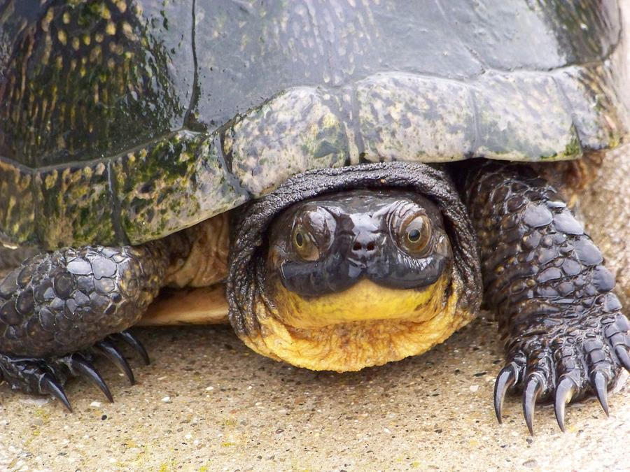 Wildlife Photograph - Turtle3 by Jennifer  King
