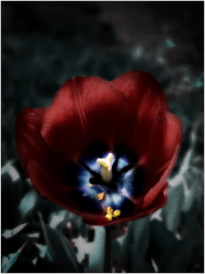 Twilight Tulip Photograph