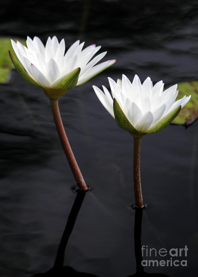 Twin White Water Lilies Photograph  - Twin White Water Lilies Fine Art Print