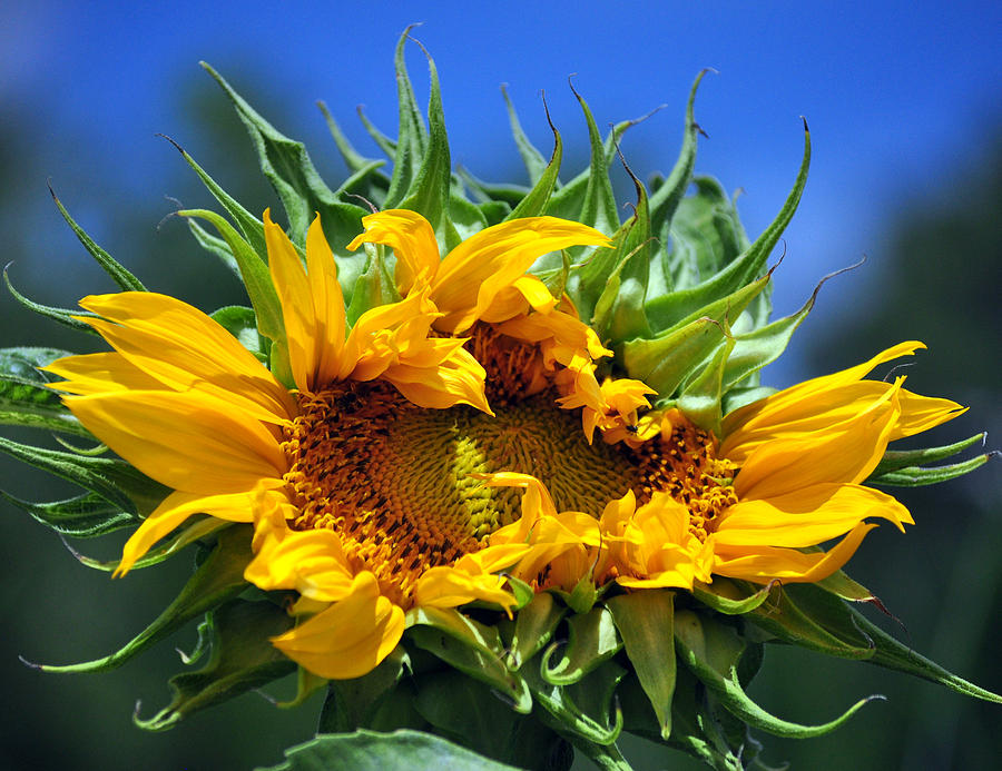 Twisted Sunflower Photograph  - Twisted Sunflower Fine Art Print