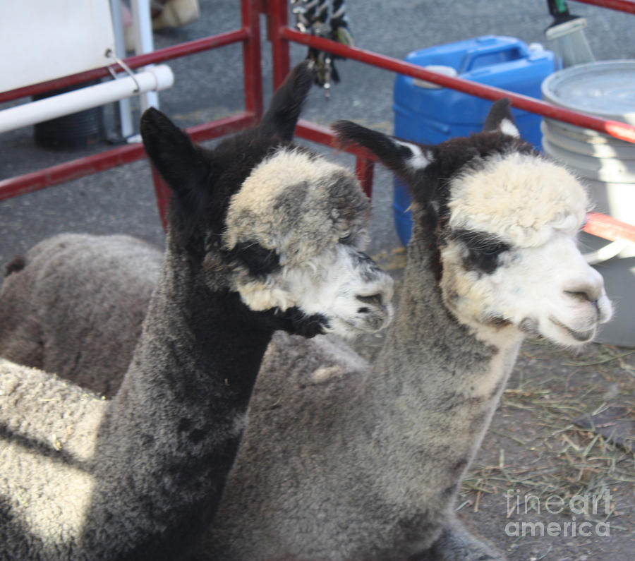 Two Alpacas Photograph  - Two Alpacas Fine Art Print