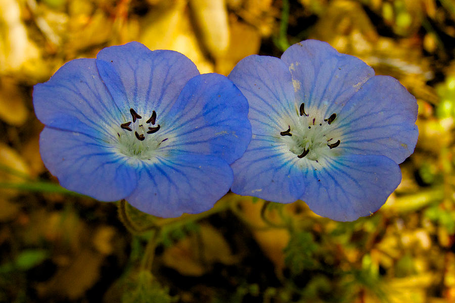 Two Baby Blue Eyes In Park Sierra-ca Photograph  - Two Baby Blue Eyes In Park Sierra-ca Fine Art Print
