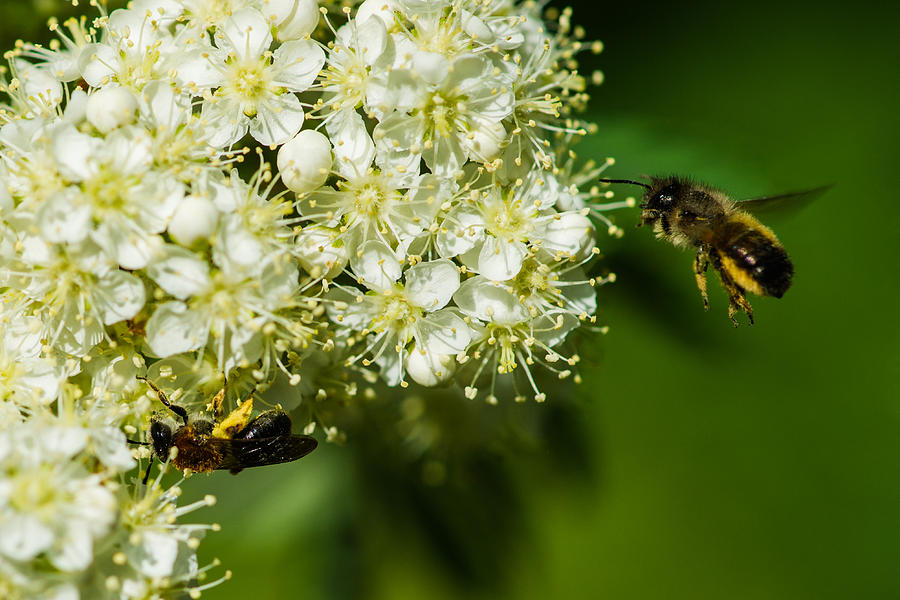 Two Bees On A Rowan Truss - Featured 3 Photograph
