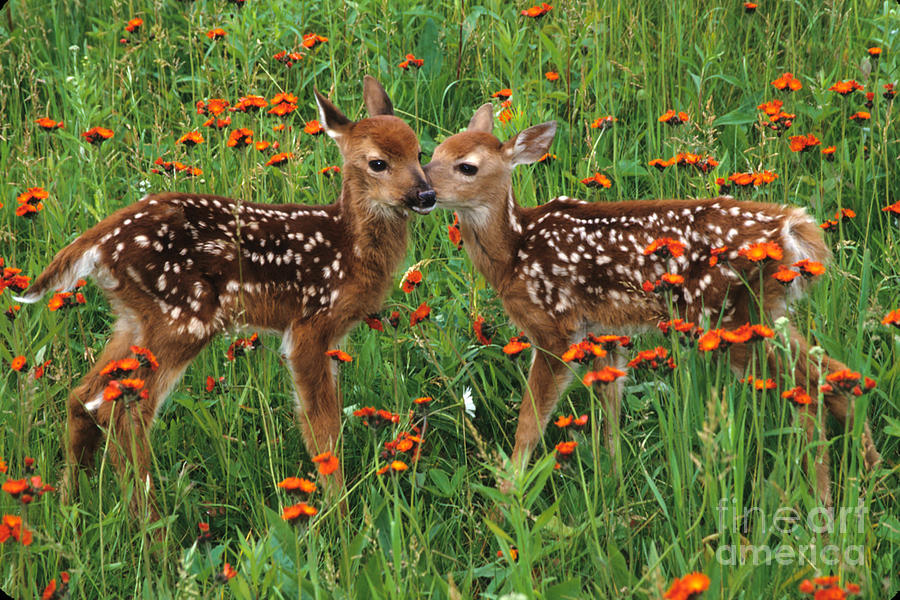 Two Fawns Talking Photograph By Chris Scroggins