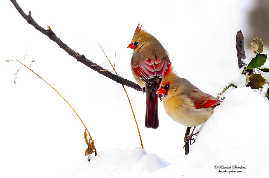 Two Females Posing As Cardinals Photograph  - Two Females Posing As Cardinals Fine Art Print