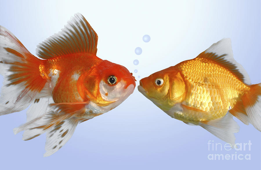 Two Fish Kissing Fs502 Digital Art  - Two Fish Kissing Fs502 Fine Art Print