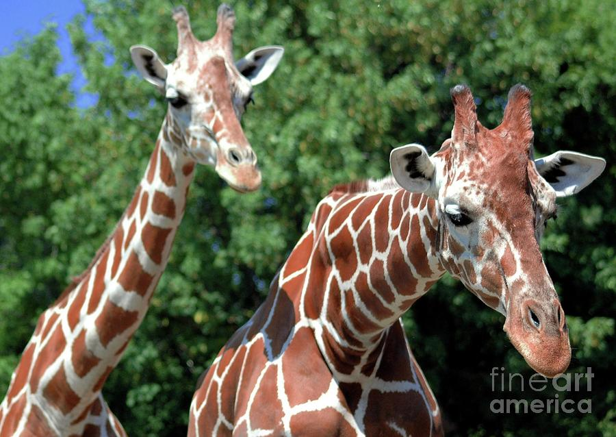 Two Giraffes Photograph  - Two Giraffes Fine Art Print