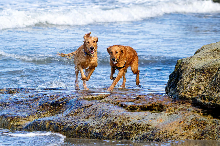 Two Golden Retriever Dogs Running On Beach Rocks Photograph  - Two Golden Retriever Dogs Running On Beach Rocks Fine Art Print