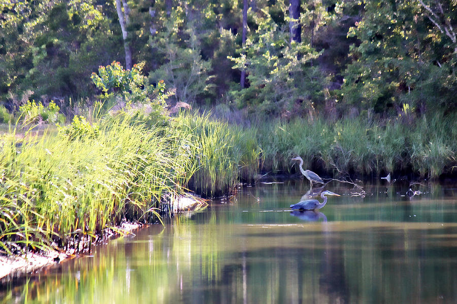 Two Herons Photograph  - Two Herons Fine Art Print