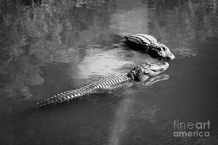 Two Large American Alligators Standing On Underwater Log Near Water Surface Florida Usa Photograph