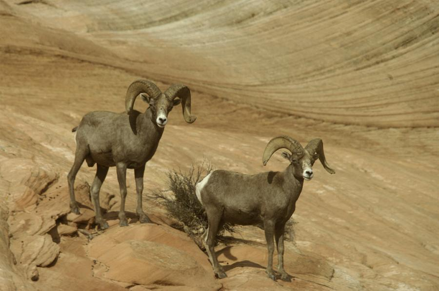 Two Male Rams At Zion Photograph