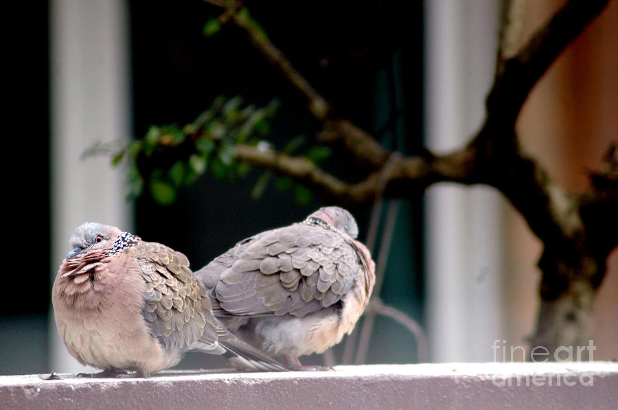 Two Pigeons Photograph  - Two Pigeons Fine Art Print