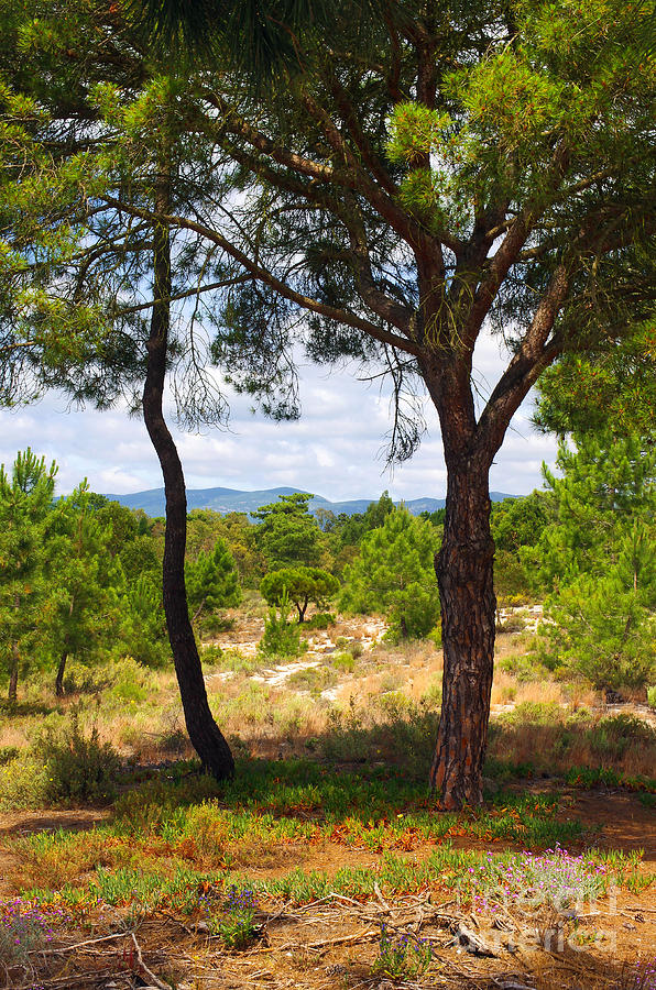 Two Pine Trees Photograph  - Two Pine Trees Fine Art Print