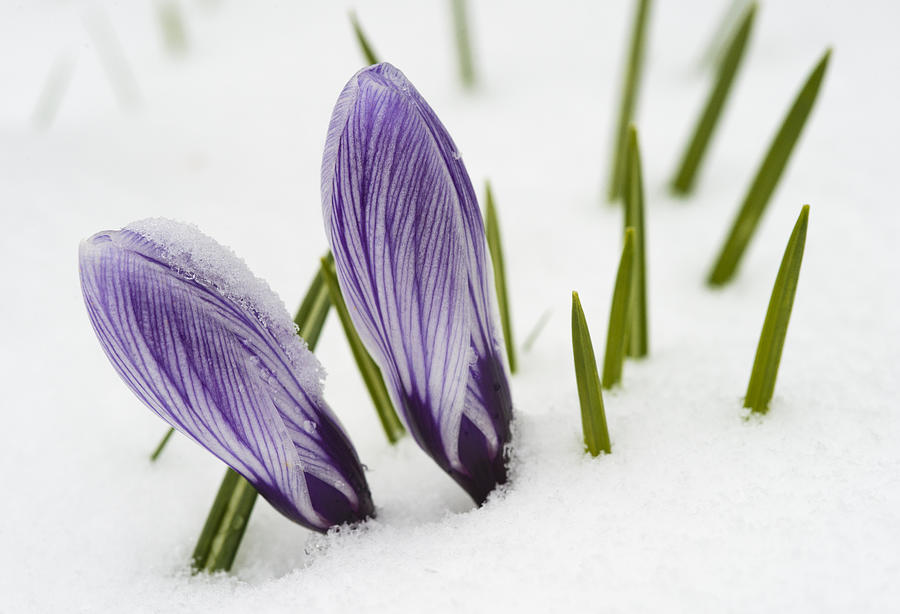 Two Purple Crocuses In Spring With Snow Photograph