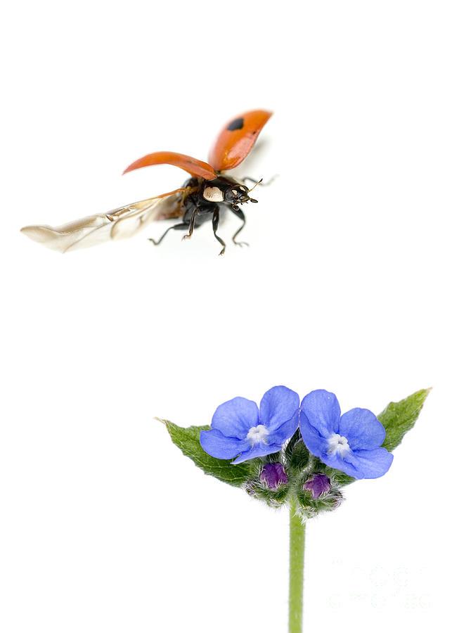 Two-spot Ladybug Photograph - Two Spot Ladybug by Mark Bowler