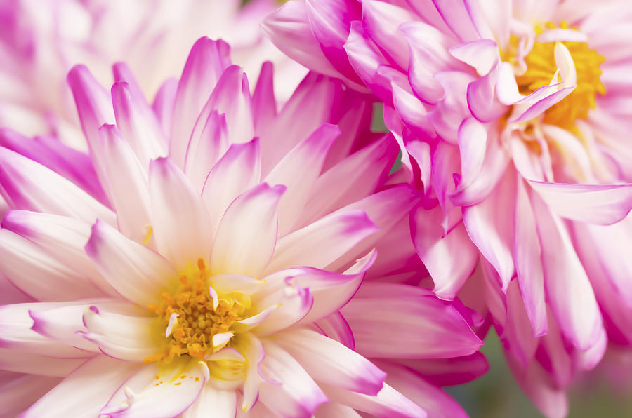 Two White And Pink Decorative Dahlias Photograph