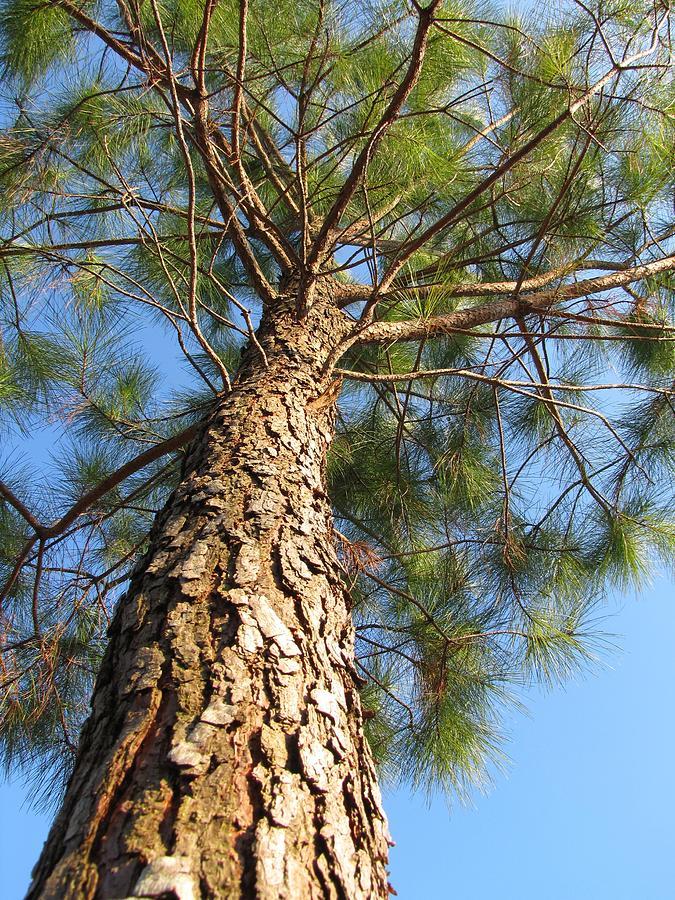 Under A Pine Tree Photograph