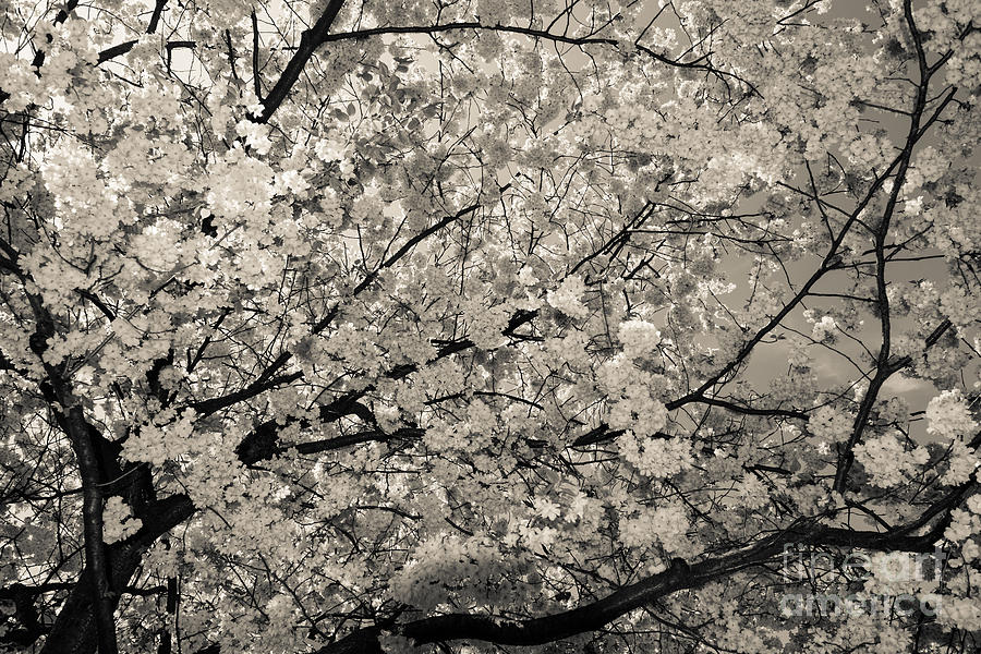 Under The Cherry Tree - Bw Photograph  - Under The Cherry Tree - Bw Fine Art Print