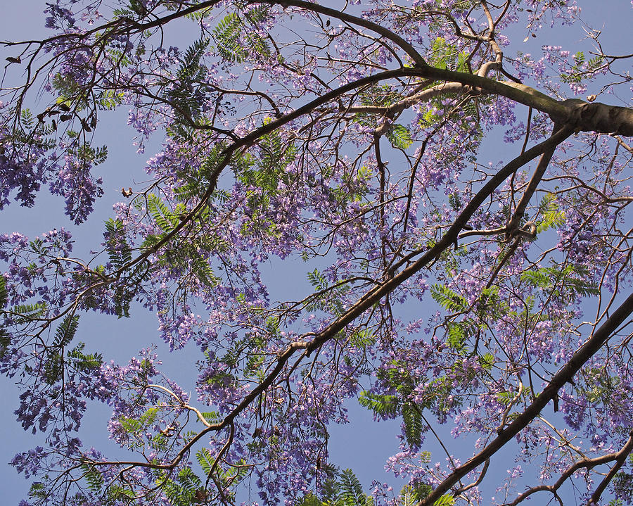Under The Jacaranda Tree Photograph  - Under The Jacaranda Tree Fine Art Print