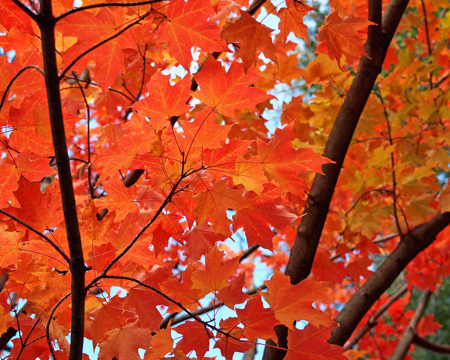 Maple Photograph - Under The Orange Maple Tree by Rona Black