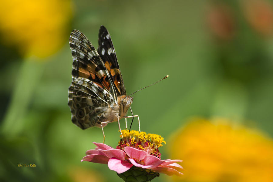 Unforgettable Lady Butterfly Photograph