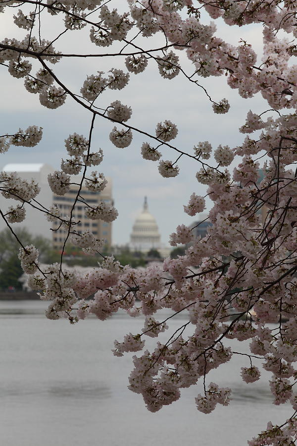 Us Capitol - Cherry Blossoms - Washington Dc - 01132 Photograph
