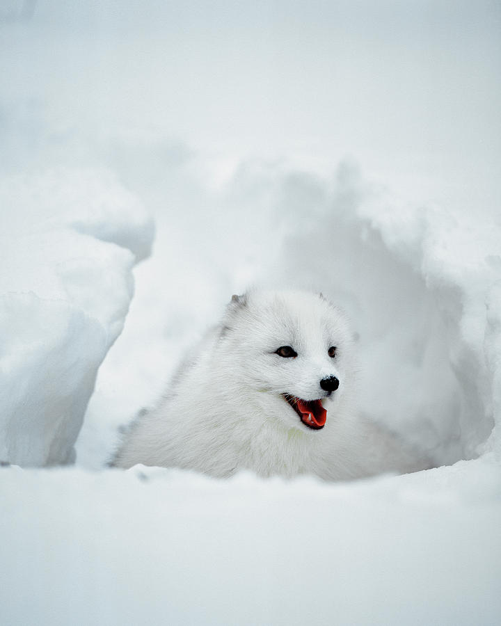 Usa  Alaska Arctic Fox In Winter Coat Photograph By Jaynes
