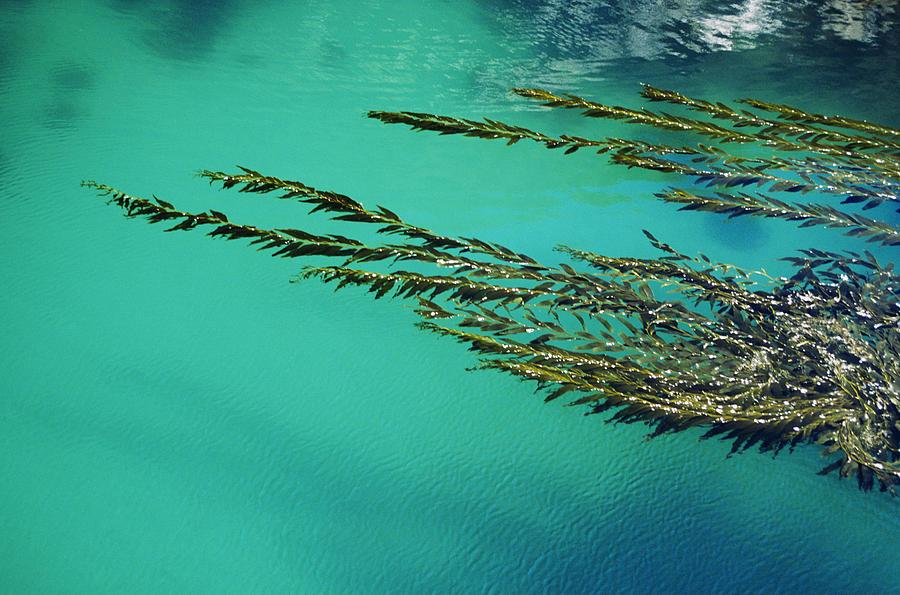 Usa, California, Seaweed Floating Photograph