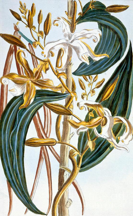Still-life Painting - Vanilla Pods by Pierre-Joseph Buchoz