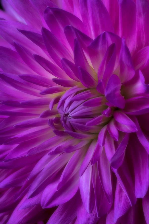 Pink Moody Photograph - Very Pink Dahlia by Garry Gay