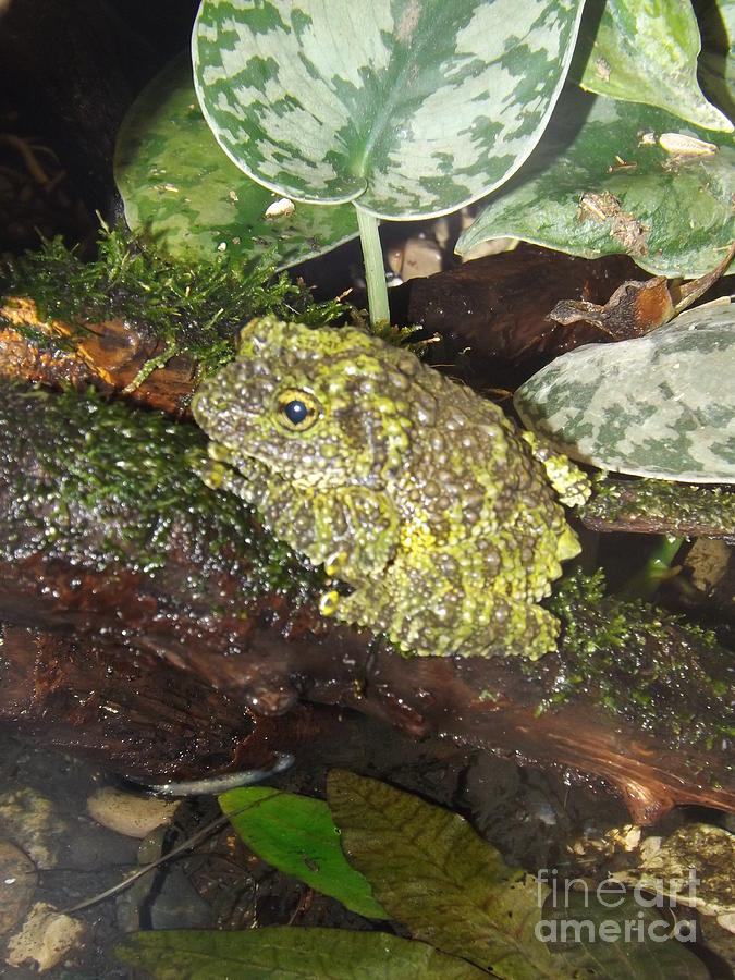 Vietnamese Mossy Frog Photograph