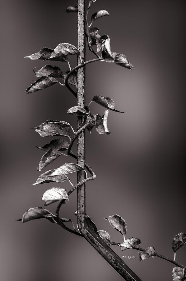 Vine On Iron Photograph