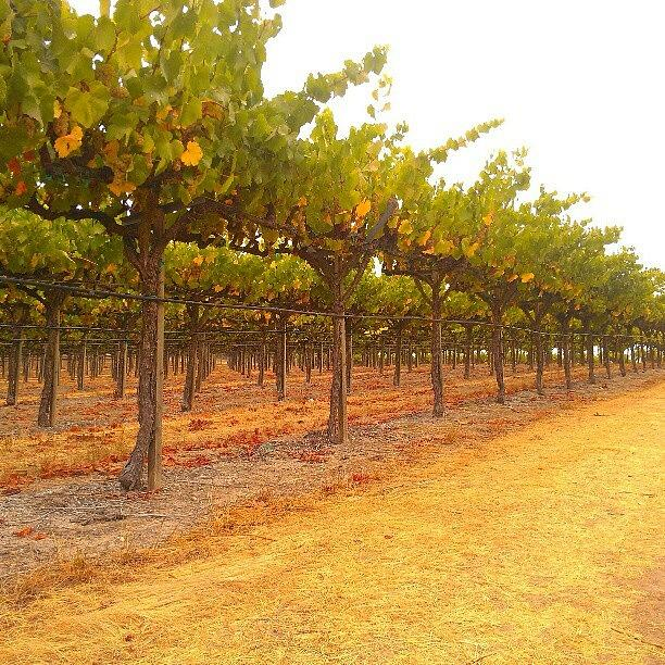 Grapevines Photograph - Vines Aligned by CML Brown