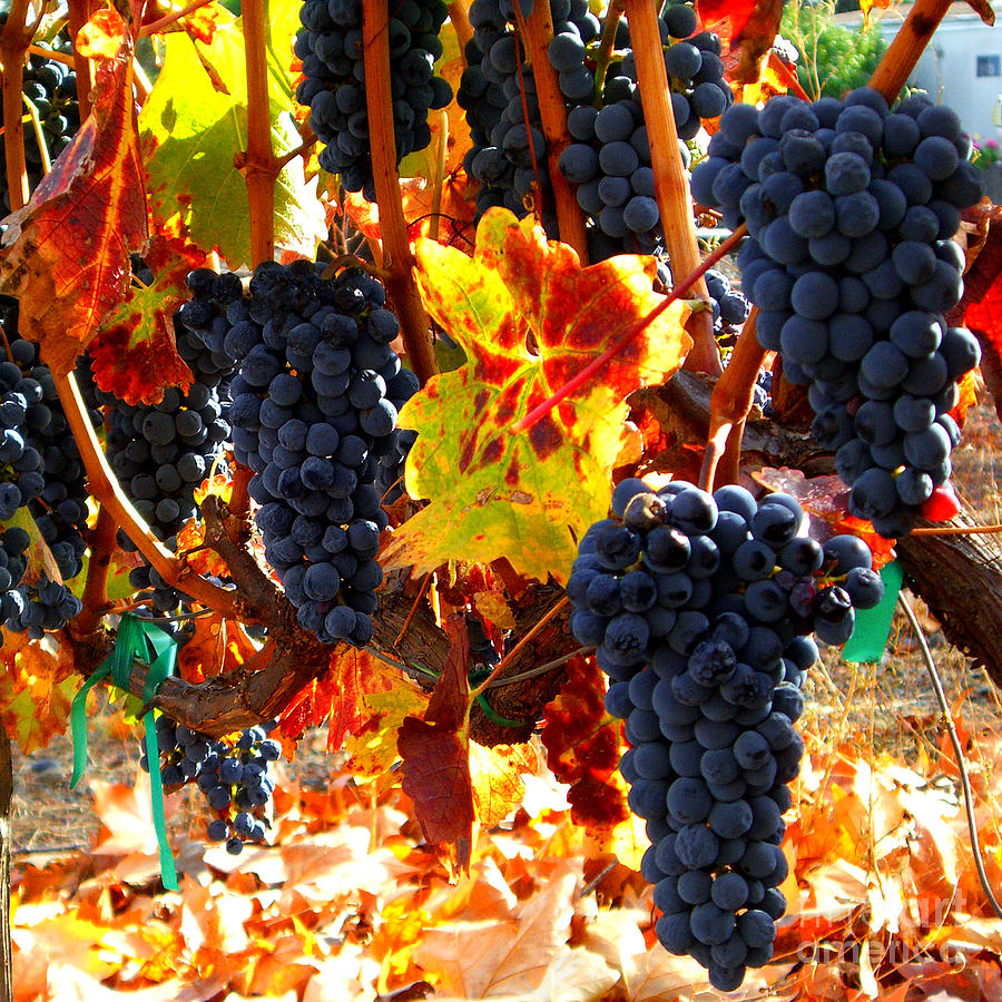 Vineyard 8 Photograph
