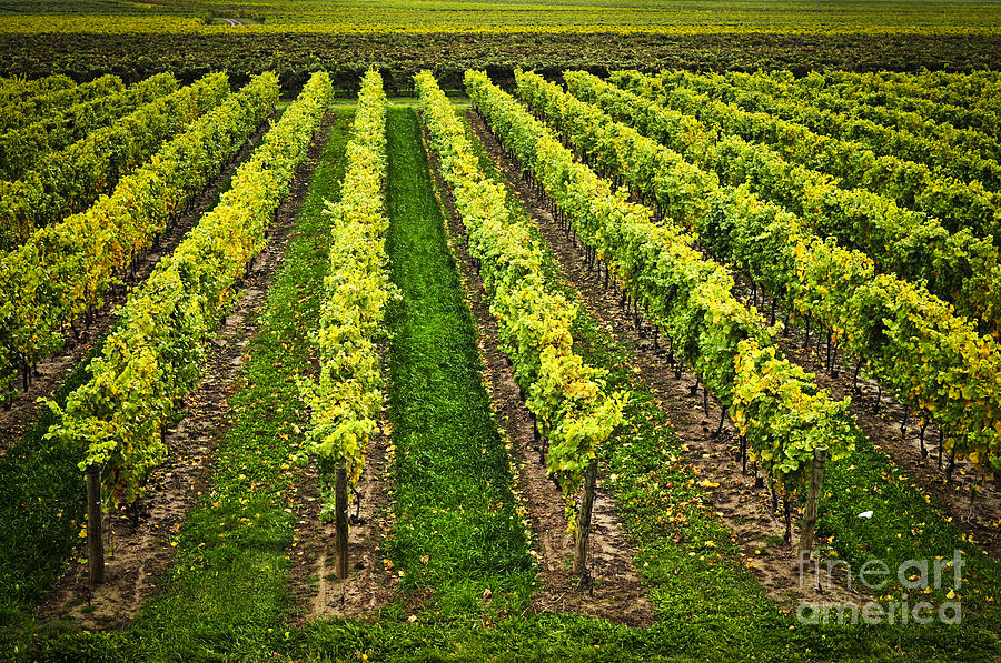 Row Photograph - Vineyard by Elena Elisseeva
