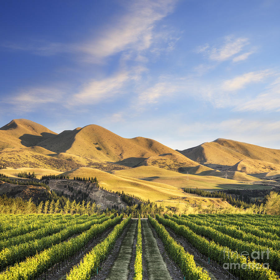 Vineyard In Canterbury New Zealand Photograph